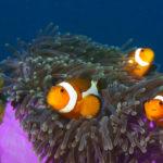 Clown Fish, Tioman, Malaysia