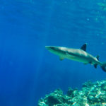 White Tip Reef Shark, Kuata, Fiji